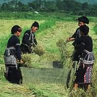 Holidays to Hanoi and Vietnam - Harvesting in northern Vietnam