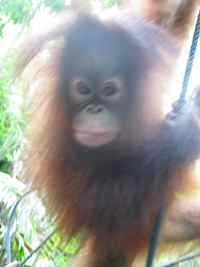 Orang Utan making a lunge for me at the Shangri-La Rasa Ria