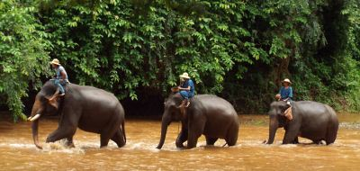 Elephants in the river at Chiang Dao, near Chiang Mai