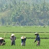 Holidays to Bali and Lombok - paddy fields Lombok