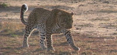 On safari - an elusive leopard