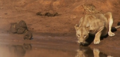 Lion at a watering hole