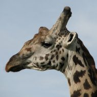 On safari in Kenya - giraffe