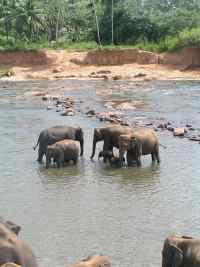 Bathtime at the Pinnawela elephant orphange, Sri Lanka
