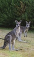 Holidays to Australia with Escape Worldwide - Kangaroos (copyright Tourism Australia / Time Out Australia)
