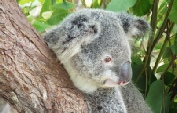 Holidays to Australia with Escape Worldwide - Koala